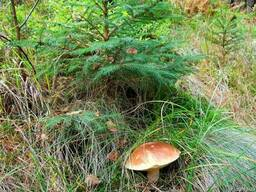 Грибница белых грибов - зерновой живой мицелий! настоящий!