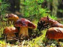 Рассада белого гриба