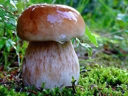 Мицелий (грибница) Белого гриба берёзового от производителя