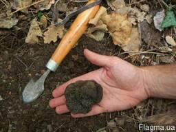 Мицелий трюфелей - грибница (семена) грибов от производителя