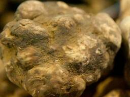 Мицелий трюфелей - грибница (семена) грибов от производителя - фото 3