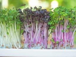 Микрозелень микрогрин гороха, подсолнуха, редиса, капусты, брокколи