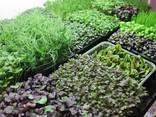 Микрозелень, микрогрин, microgreen - витамины для Вас! - фото 2