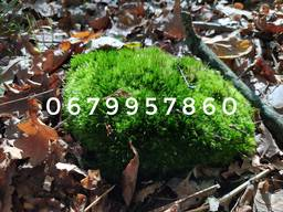 Мох натуральний лісовий колір яскраво-зелений