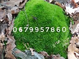 Мох натуральный лесной