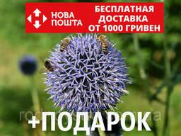 Мордовник шароголовый семена (около 60 шт) медонос. ..