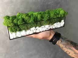 Моссариум со стабилизированым мхом зелёный MiNature Moss
