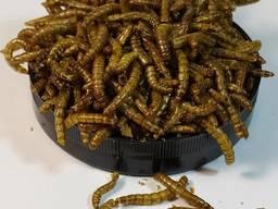 """Мучной червь сухой """"Mealworm"""" тм Буся. Корм для рептилий, птиц, грызунов, рыб. 450мл/60г"""