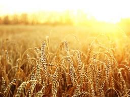 Мука кормова пшенична (комбікорм, обмішка, мучка )