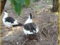 Мускусные утки, индоутка (Голландия, Германия) на племя.