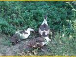 Мускусные утки, индоутка (Голландия, Германия) на племя. - фото 4