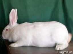 Кролики мясной термонской породы