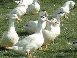 Мясо птицы : индюки, утка мулард