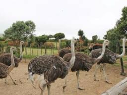 Мясо страуса: филе, колбасные изделия из страусятины