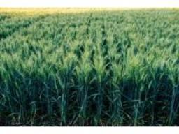 Насіннева озима пшениця сорт Алтіго