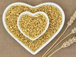 Насіння елітне пшениця озима Шпалівка (новинка)