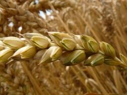 Семена пшеницы Канадская элита и 1 репродукция 10 сортов