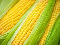 Насіння кукурудзи ФАО 340 Фортеза