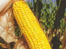 Насіння кукурудзи ДС1385А