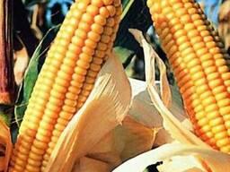 Насіння кукурудзи Любава 279 МВ