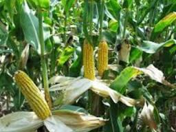 """Насіння кукурудзи """" Маніфік ФАО 300""""( стандарт)"""