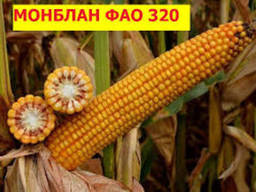 """Насіння кукурудзи """" Монблан ФАО 320""""( екстра)"""