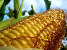 Насіння кукурудзи Монсато (імпорт) ДКС 3939, ДКС 4695, 4014