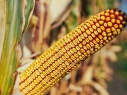 Купити посівний матеріал кукурудзи, соняшника. Кукурудза зернова, силосна.