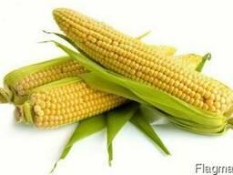 Насіння кукурудзи: Солонянський, Оржиця, Подільський, Білозі