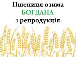 Насіння озимої пшениці Богдана 1 репродукція 2018р