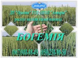 Насіння озимої пшениці Богемія