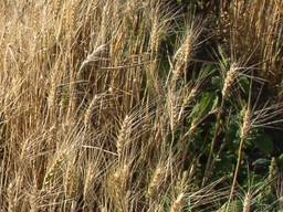 """Насіння озимої пшениці Емеріно """"RWA"""""""
