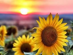 Насіння соняшника Рекольд під гранстар