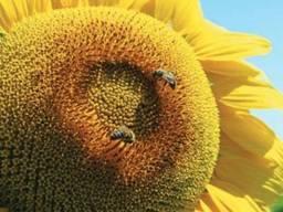 Насіння соняшника Авалон