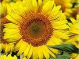 Насіння соняшника Лиман ОР (7рас)