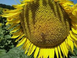 Насіння соняшнику Нео, Толедо