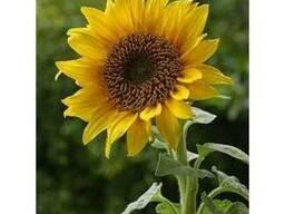 Насіння соняшнику Сівас (Seed Grain)