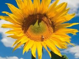 Насіння соняшнику Тітанік (Нові Сад, Сербія)