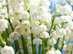 Настойка цветов ландыша