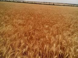 Продам насіння озимої пшениці сорт Кантата одеськая