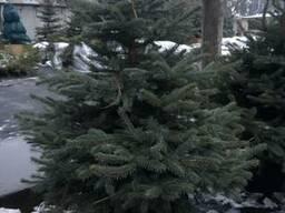 Новогодняя елка в горшке купить