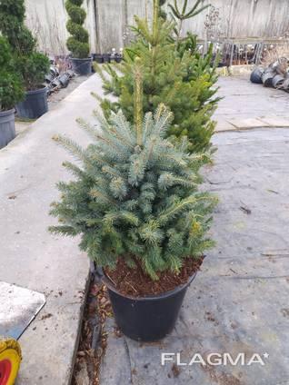 Живая елка в горшке купить