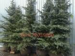 Живая елка в горшке купить - фото 5