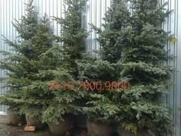 Новогодняя живая елка в горшке купить