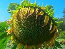 Семена подсолнечника Рекольд (под гранстар)