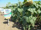 Семена подсолнуха НС Таурус Экстра (3,0-3,6мм) - фото 4