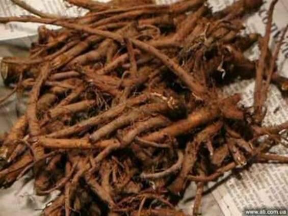 Одуванчик корень