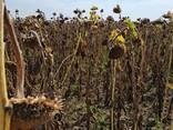 Окажем услуги по уборке урожая КУКУРУЗЫ и ПОДСОЛНЕЧНИКА Джон Дир - фото 4
