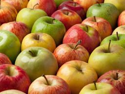 Оптом Продажа яблок урожая 2020 года