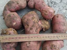 Оптовая продажа картофеля 2 сорта